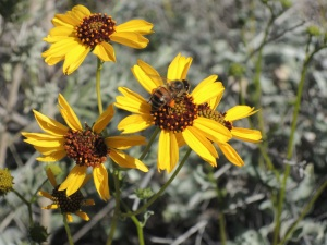Photographed on Brittlebush in Lake Havasu Sate Park, Lake Havasu City, Arizona (3-6-13). See orange pollen on bee leg