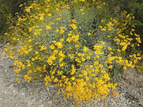 Photographed in Lake Havasu State Park, Lake Havasu City, Arizona (3-15-13). Yellow flowers