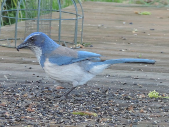 This bird is about 11 inches in length, with a long tail, no crest, and is primarily blue and white in color. It is attracted to bird-seed feeders as shown in this photo near Amity, Oregon on April 15, 2013. Camera: Nikon Coolpix P520.