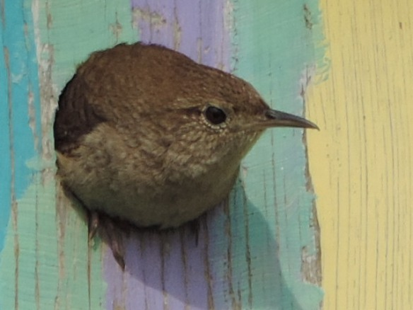 Female House Wren in the entrance of a bird house containing her nest of six eggs near Wooster, Ohio. Photo taken on May 30, 2013 with a Nikon Coolpix P520 camera. Note: This is the second photo of a set of three.
