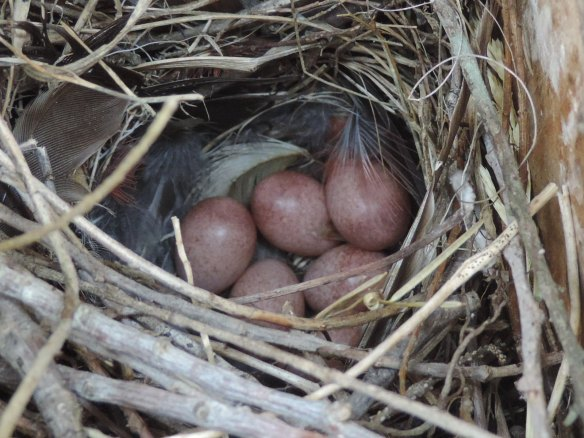 Nest of six eggs laid by a House Wren in a bird house near Wooster, Ohio. Photo taken on May 30, 2013 with a Nikon Coolpix P520 camera. Note: This is the third photo in a set of three.