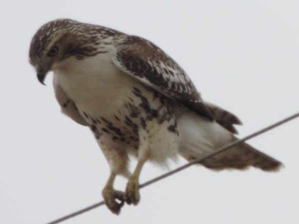 This hawk appeared to be watching for prey on the ground. Photo was taken along I-74, between I-80 and Galesburg, Illinois on December 2, 2013. Camera used was a Nikon Coolpix P520.