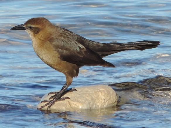 This female was seen in Lake Havasu State Park, Lake Havasu City, Arizona. Photo was taken on January 6, 2014 with a Nikon Coolpix P520 camera.