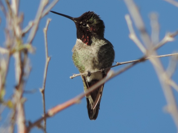 Frontal view of this hummingbird was photographed at Lake Havasu State Park, Lake Havasu City, Arizona on January 10, 2014. Photo was taken with a Nikon Coolpix P520 camera.