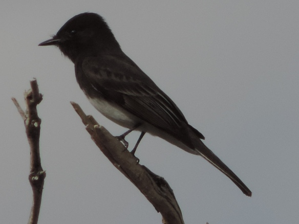 This flycatcher was observed in Lake Havasu State Park, Lake Havasu City, Arizona on January 31, 2014. It is black in color with a white underside. It was photographed with a Nikon Coolpix P520 camera.