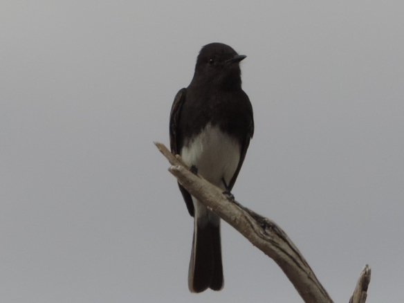 Front view - This flycatcher was observed in Lake Havasu State Park, Lake Havasu City, Arizona on January 31, 2014. It is black in color with a white underside. It was photographed with a Nikon Coolpix P520 camera.