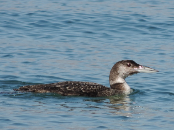 This loon was seen on Lake Havasu (Lake Havasu City, Arizona) on February 24, 2014. It was photographed with a Nikon Coolpix P520 camera.