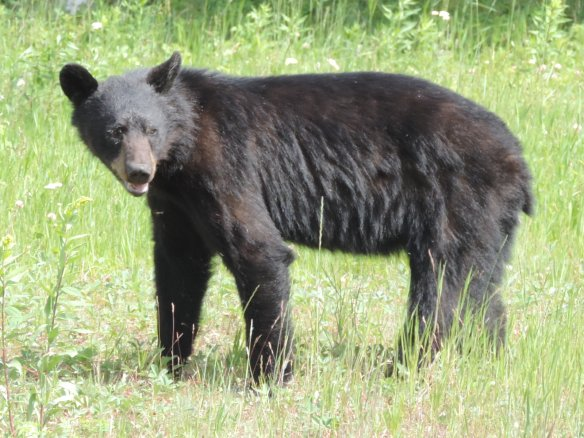 This bear was seen in the Yukon Territory of Canada along the highway not far from Alaska on July 8, 2013. It was photographed with a Nikon Coolpix P520 camera.