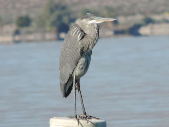 This heron was observed on Lake Havasu (Lake Havasu City, Arizona) on January 10, 2014. A Nikon Coolpix P520 camera was used to photograph this bird.