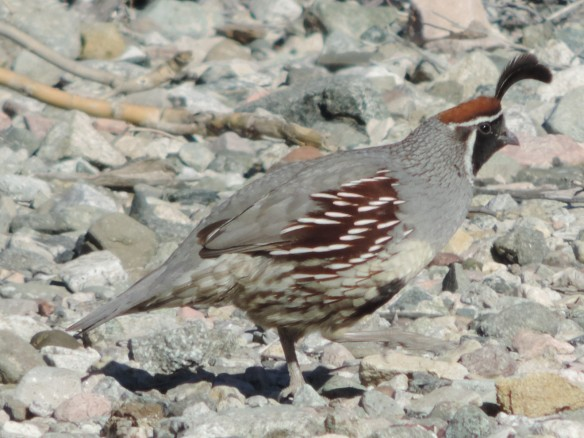This male quail was seen in Lake Havasu State Park, Lake Havasu City, Arizona on January 13, 2014. It was photographed with a Nikon Coolpix P520 camera.