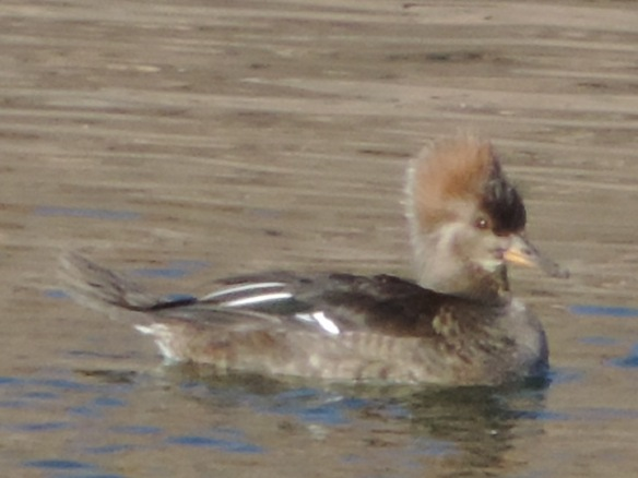 This female Merganser was seen on Lake Havasu quite some distance from shore on January 17, 2014. The location is near Lake Havasu City, Arizona. This photograph was taken with a Nikon Coolpix P520 camera.  Hooded Mergansers are not common in Arizona.