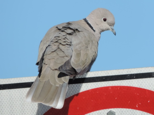 This dove was photographed at Lake Havasu City, Arizona on January 16, 2014. It has a black ring around the back side of its neck. The camera used to produce this photo was a Nikon Coolpix P520.