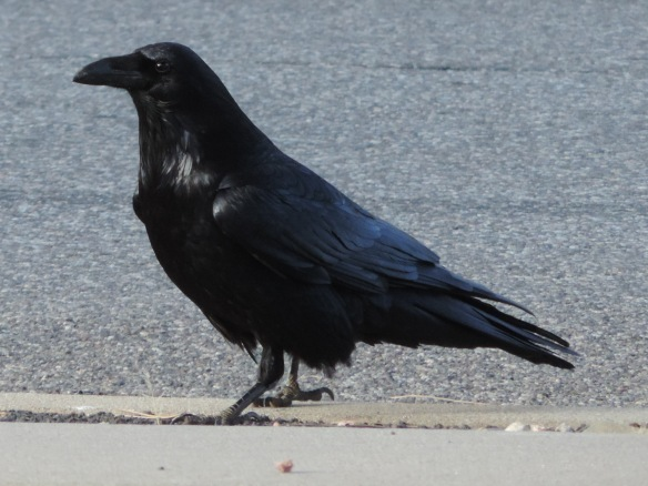 This raven was photographed in Flagstaff, Arizona on January 29, 2014. The camera used was a Nikon Coolpix P520.