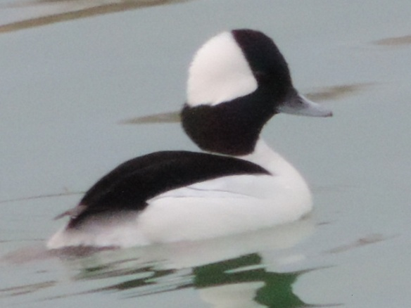 This male Bufflehead was seen on Lake Havasu in the National Wildlife Refuge (Lake Havasu City, Arizona) on February 4, 2014. It was photographed with a Nikon Coolpix P520 camera.