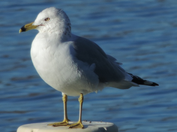 This gull was photographed above the lake at Bill Williams Wildlife Refuge north of Parker, Arizona on February 5, 2014. This photo was taken with a Nikon Coolpix P520 camera.