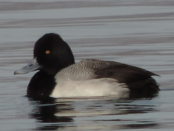 This Scaup was seen on Lake Havasu, Lake Havasu City, Arizona on February 8, 2014. This photograph was taken by a Nikon Coolpix P520 camera.