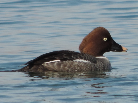 This female goldeneye was observed swimming on Lake Havasu, Lake Havasu City , Arizona on February 18, 2014. It was photographed with a Nikon Coolpix P520 camera.