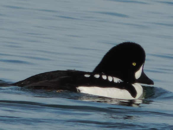 This male goldeneye was observed swimming on Lake Havasu, Lake Havasu City, Arizona on February 18, 2014. It was photographed with a Nikon Coolpix P520 camera.