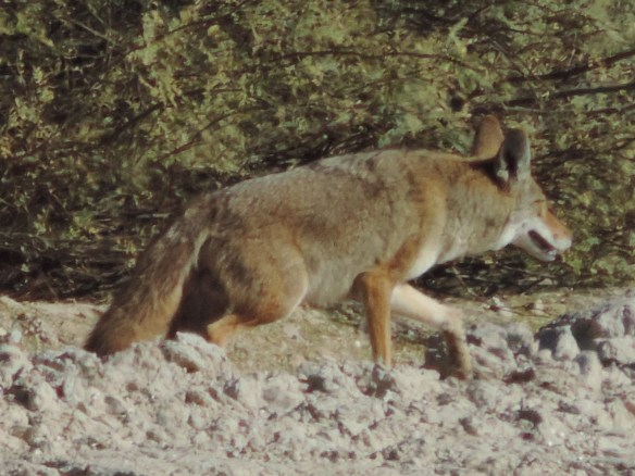 This coyote was seen along a canal near trees in an irrigated agricultural area south of Parker, Arizona on January 15, 2015. This photograph was taken with a Nikon Coolpix P520 camera.