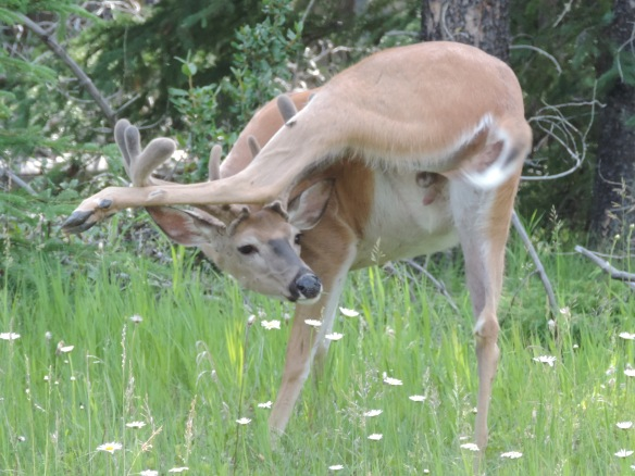This white-tailed deer was seen in southern Alberta, Canada on July 10, 2013. It was photographed with a Nikon Coolpix P520 camera.