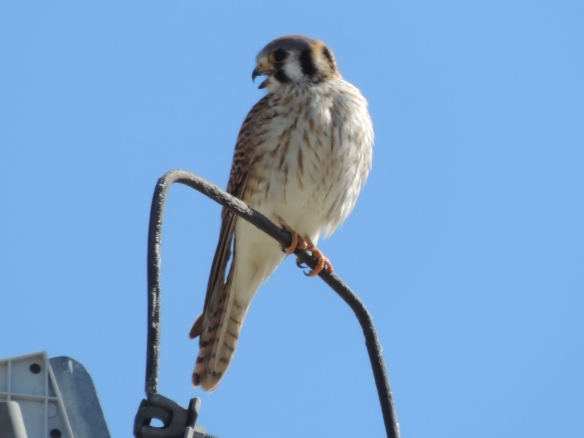 This raptor was seen on top of a tall electric pole in Lake Havasu State Park, Lake Havasu City, Arizona on March 3, 2015. In the past, this bird was known as a sparrow hawk. It was photographed with a Nikon Coolpix P520 camera.