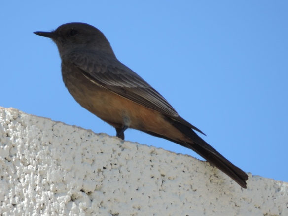 This bird was seen in Lake Havasu City, Arizona on March 12, 2015. The photo was taken with a Nikon Coolpix P520 camera.