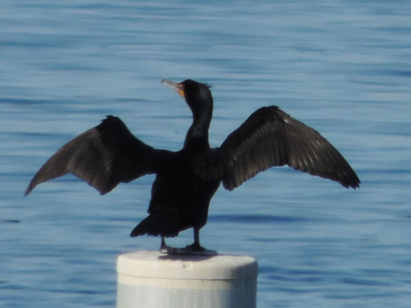 This Cormorant was seen on Lake Havasu, Lake Havasu City, Arizona on March 6, 2015. It was seen extending its wings to apparently dry them. This photograph was taken with a Nikon Coolpix P520 camera.